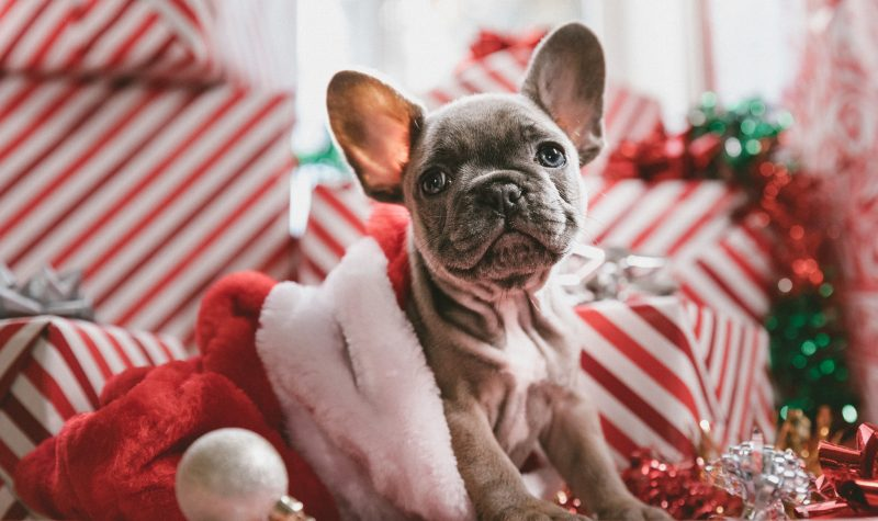 A lovely puppy enjoying a healthy Christmas